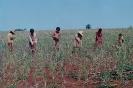 Índios limpando plantação